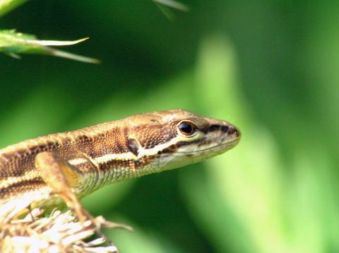 しっぽ カナヘビ