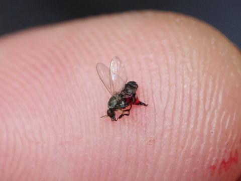 大き さ ブヨ 血を吸う小さな虫